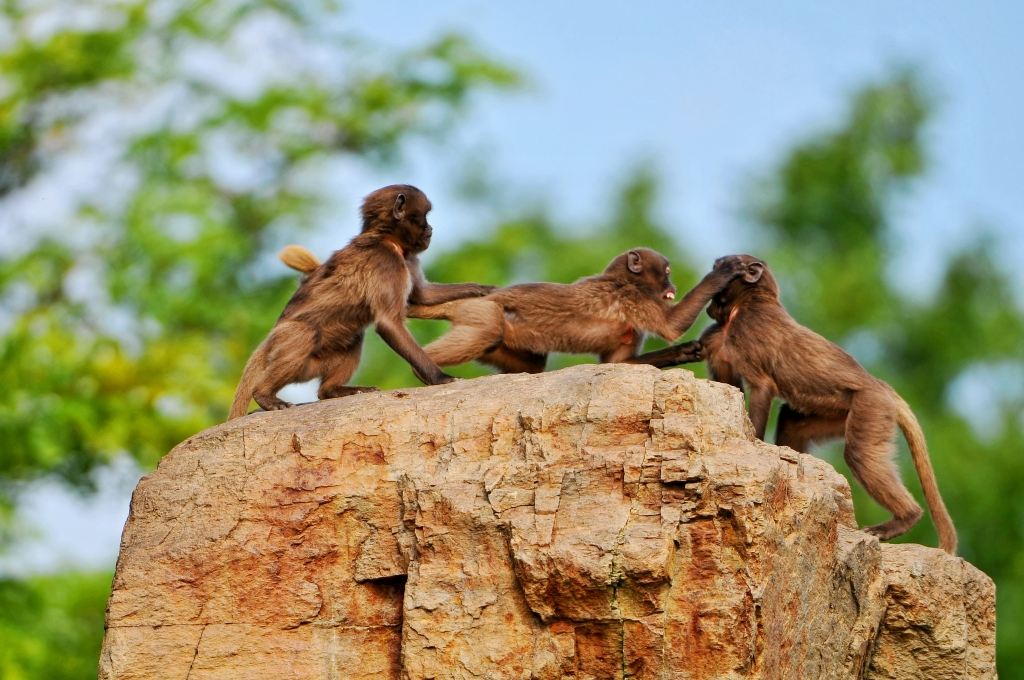 Young baboons playing